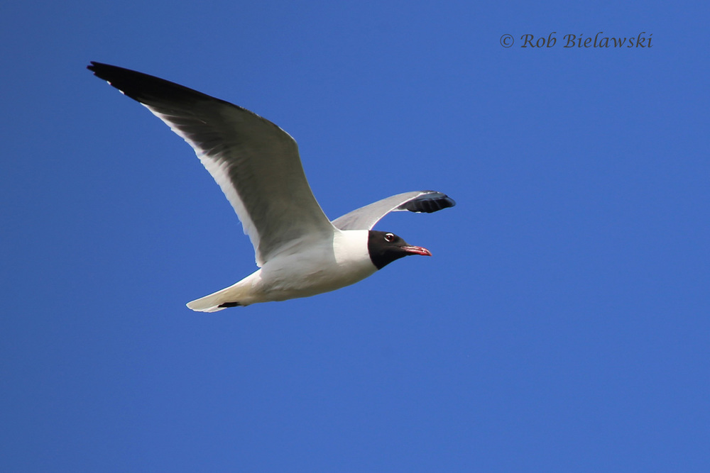 Laughing Gull - Breeding Adult in Flight - 13 May 2015 - Pleasure House Point NA, Virginia Beach, VA