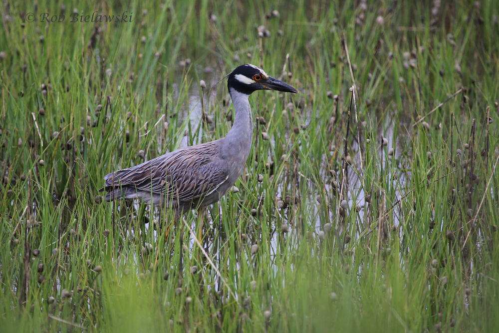 Yellow-crowned Night-Heron