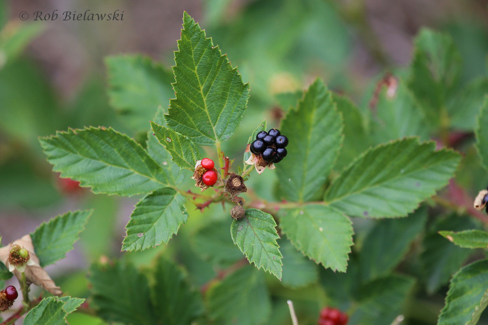 Blackberries are in bloom across the region, like these seen at Pleasure House Point on Friday!
