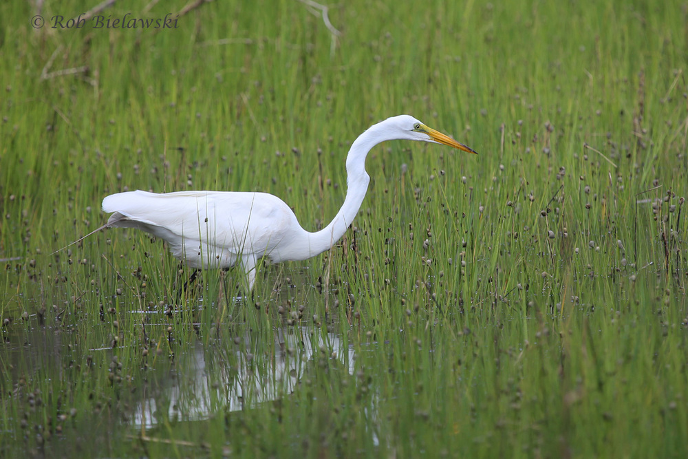 White birds like this Great Egret always look great on overcast days when the sunlight can't wash out their more intricate details!
