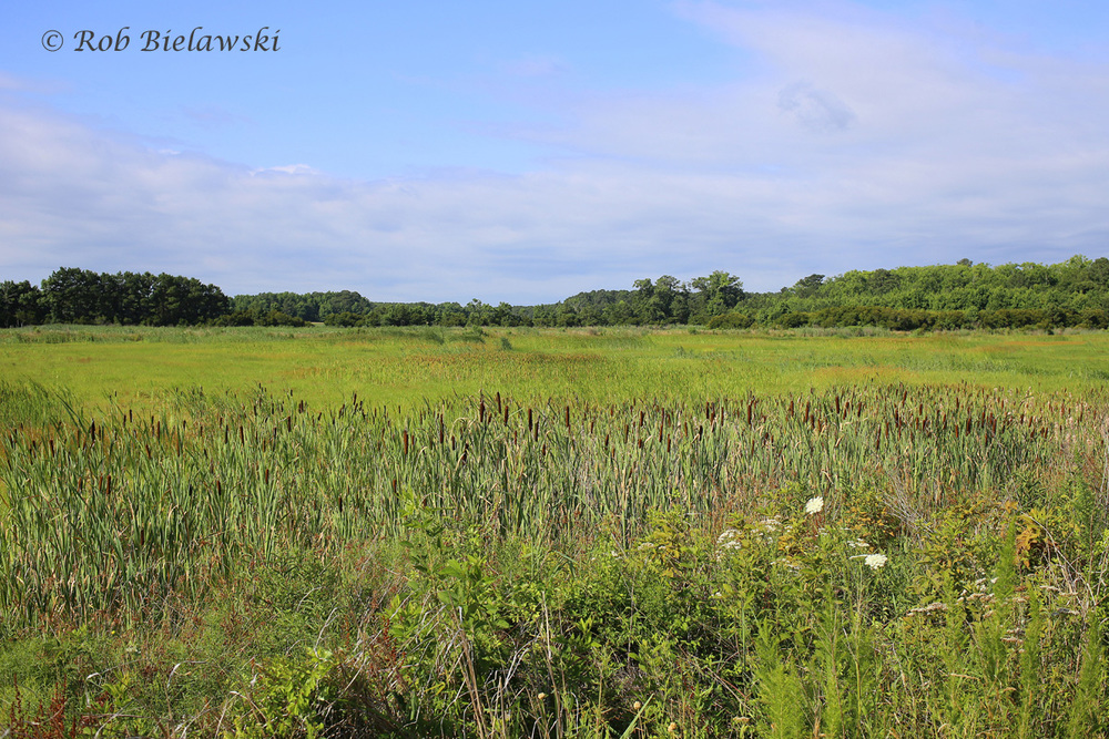 Princess Anne Wildlife Management Area on Sunday morning, showing the vivid blues and greens that the summer weather brings to the region!