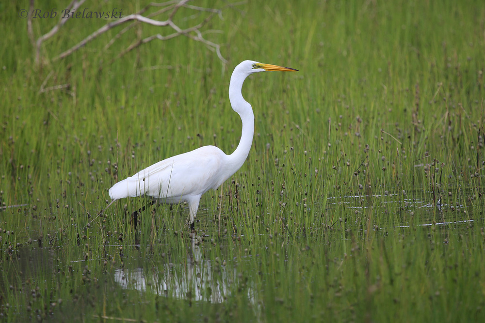 Great Egret - Adult - 29 May 2014 - Back Bay National Wildlife Refuge, Virginia Beach, VA