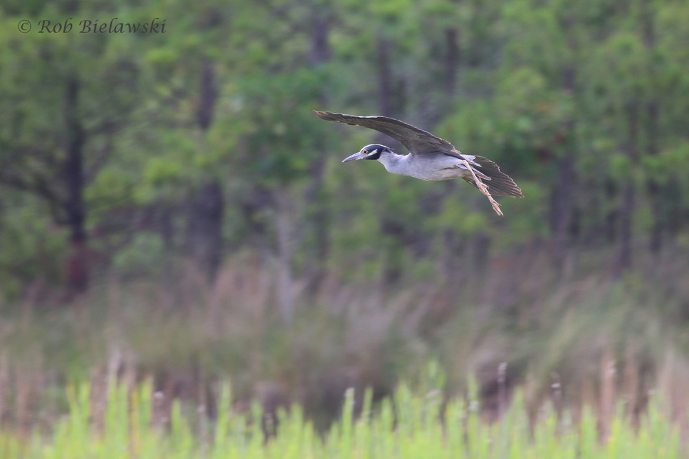 Yellow-crowned Night-Heron - Adult in Flight - 26 Jun 2015 - Pleasure House Point Natural Area, Virginia Beach, VA