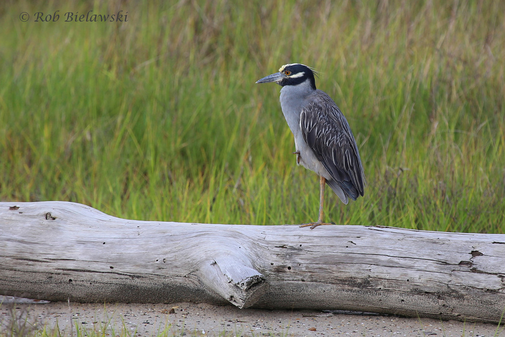 Yellow-crowned Night-Heron - Adult - 26 Jun 2015 - Pleasure House Point Natural Area, Virginia Beach, VA