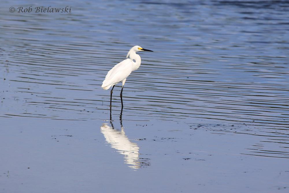 Snowy Egret - Breeding Adult - 28 Jun 2015 - Princess Anne Wildlife Management Area (Whitehurst Tract), Virginia Beach, VA