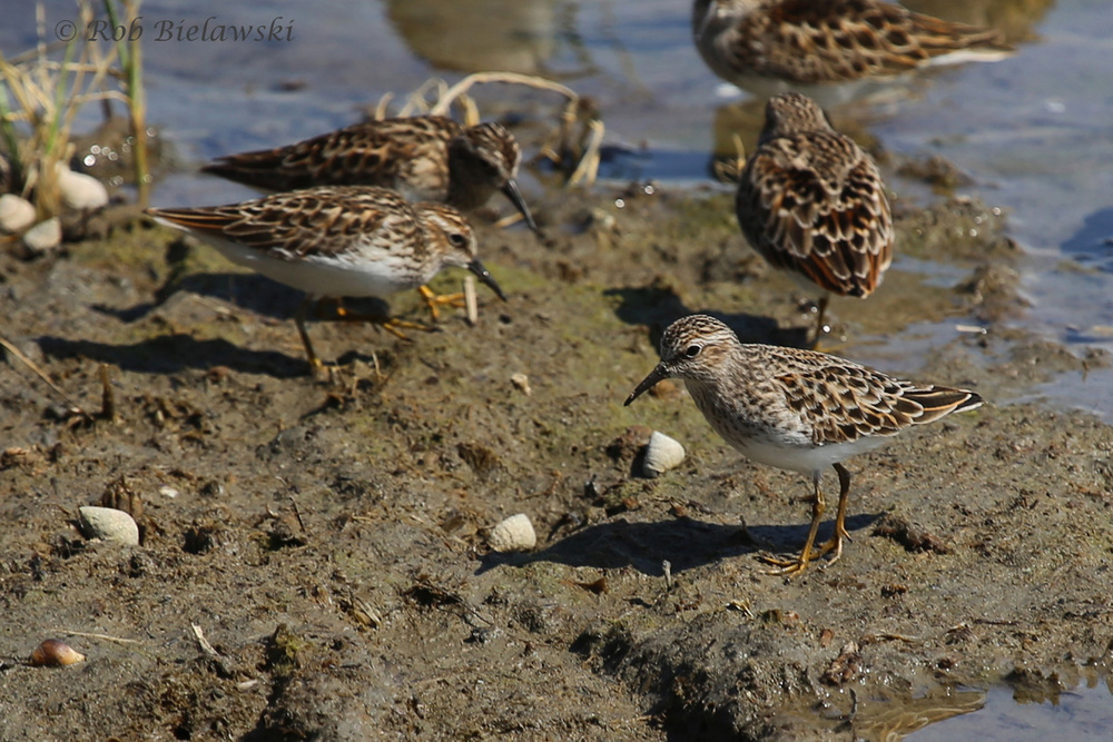 Least Sandpiper - Breeding Adults - 13 May 2015 - Pleasure House Point NA, Virginia Beach, VA
