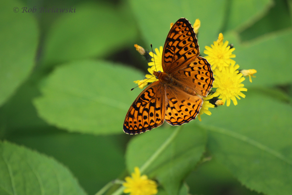 I believe this fellow is a Variegated Fritillary, seen north of Ely, MN!