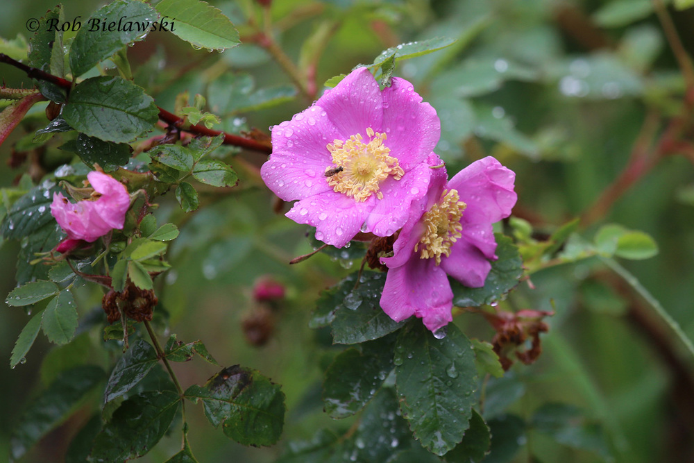 Wild Roses growing alongside the rapidly moving waters of the Temperance River!