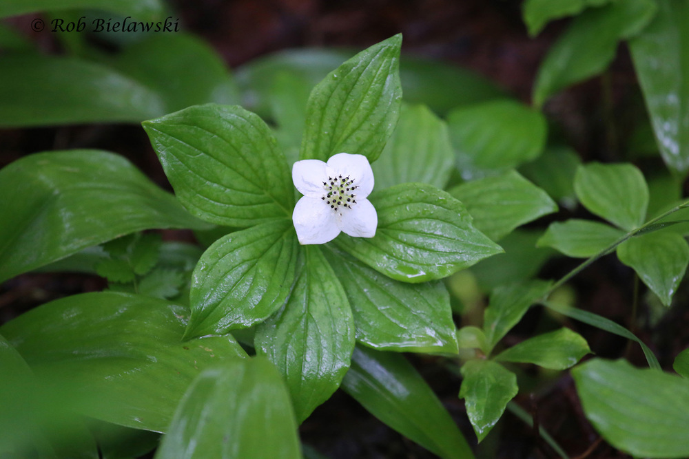 Bunchberry plant showing off just how lush the forest floor was after all the rain we received this week in Minnesota!
