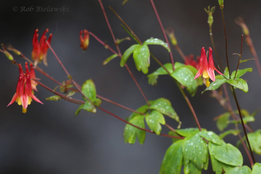 One of the few flowering plants that grew alongside the ravine cut by the Cascade River, these are a species of Columbine!