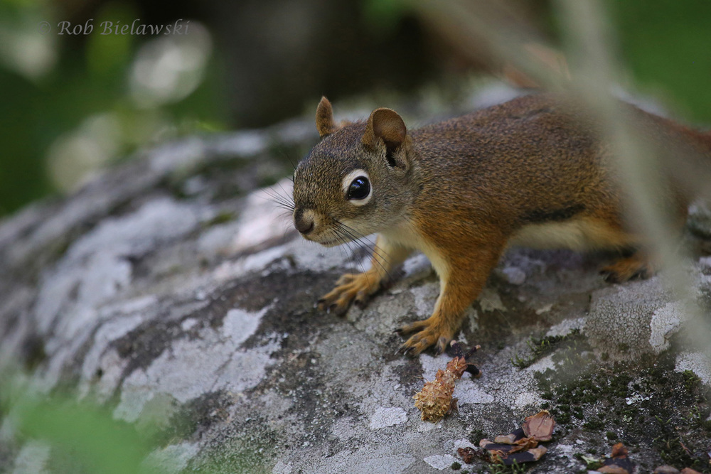 One of the few forest critters that would show itself in the dense forests, a Red Squirrel!