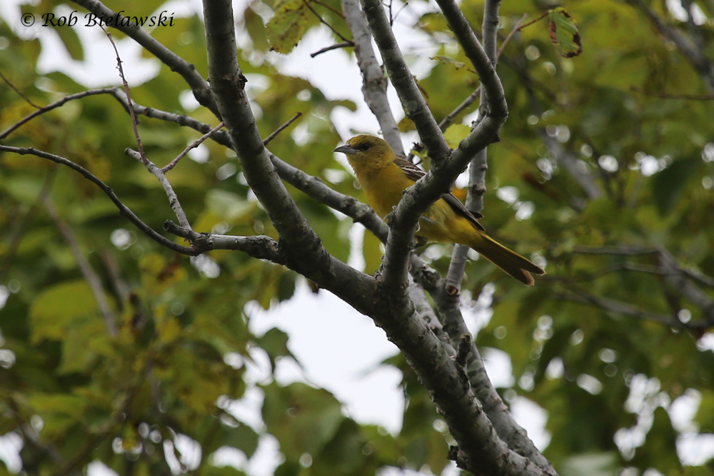 Orchard Oriole - Adult Female - 12 Jul 2015 - Princess Anne Wildlife Management Area (Whitehurst Tract), Virginia Beach, VA