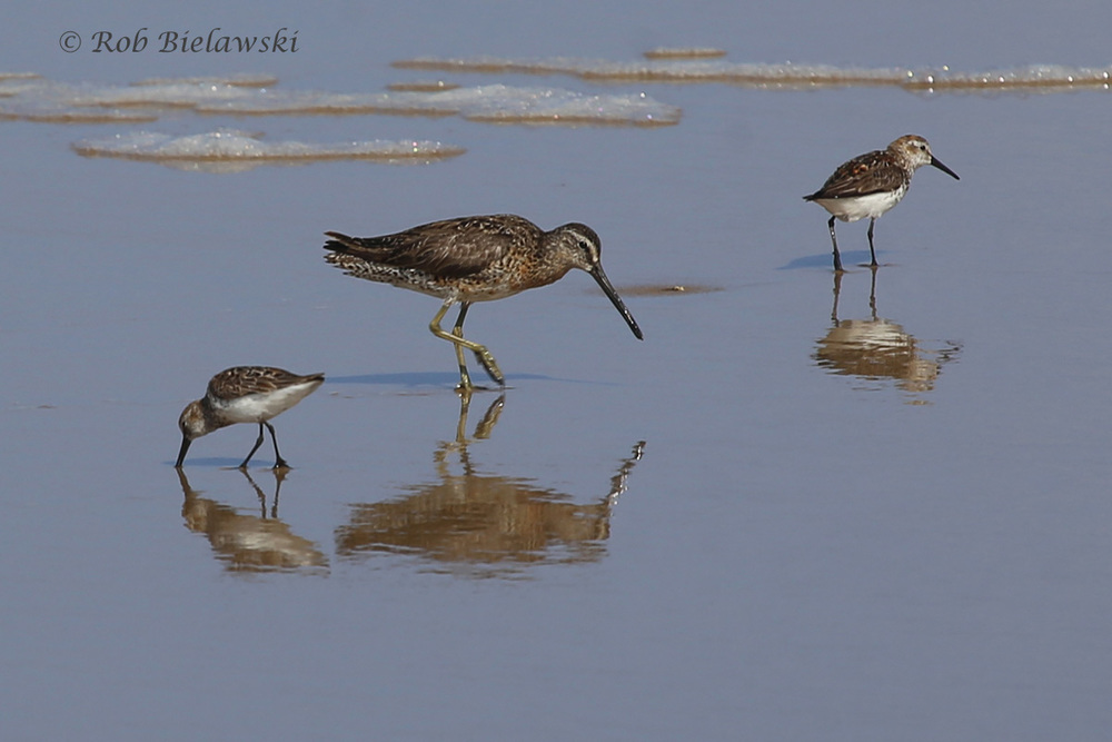 Short-billed Dowitcher & Western Sandpipers