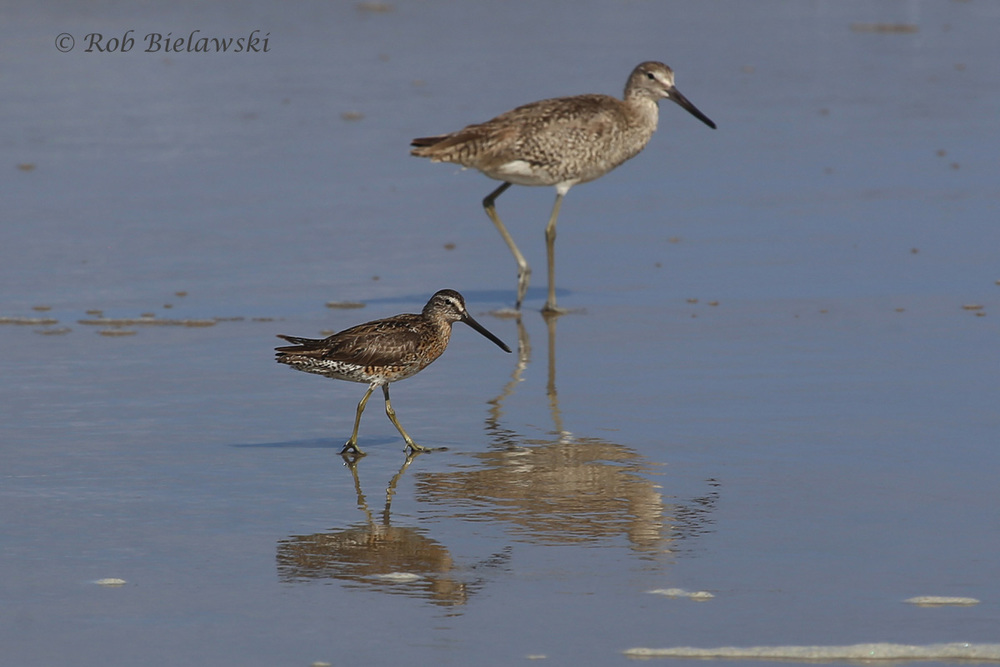 Short-billed Dowitcher & Willet