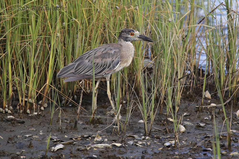 Yellow-crowned Night-Heron - First Summer - 14 Jul 2015 - Pleasure House Point Natural Area, Virginia Beach, VA