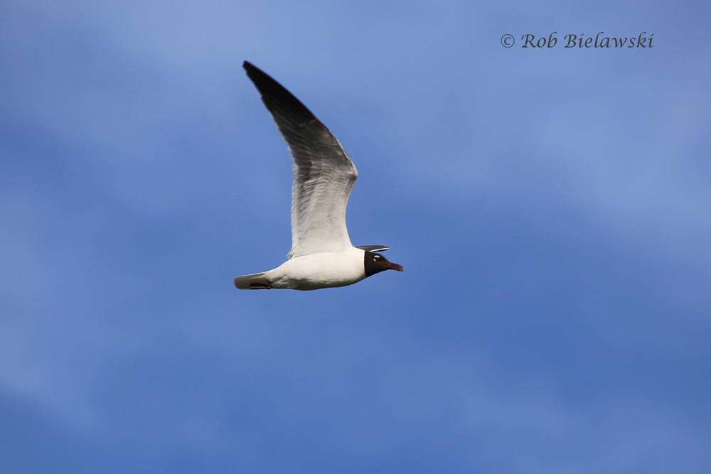 Laughing Gull - Breeding Adult in Flight - 14 Jul 2015 - Pleasure House Point Natural Area, Virginia Beach, VA