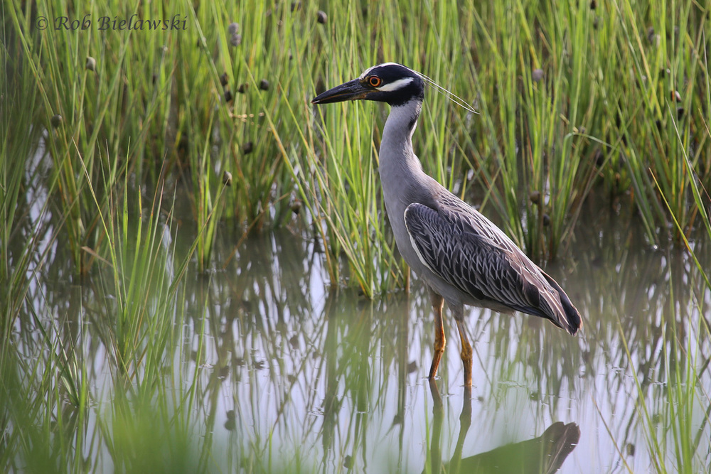 Yellow-crowned Night-Heron - Adult - 14 Jul 2015 - Pleasure House Point Natural Area, Virginia Beach, VA