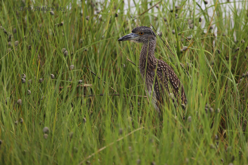 Yellow-crowned Night-Heron - Juvenile - 14 Jul 2015 - Pleasure House Point Natural Area, Virginia Beach, VA