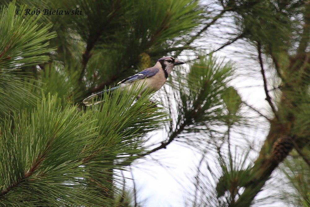 Blue Jay - Adult - 14 Jul 2015 - Pleasure House Point Natural Area, Virginia Beach, VA