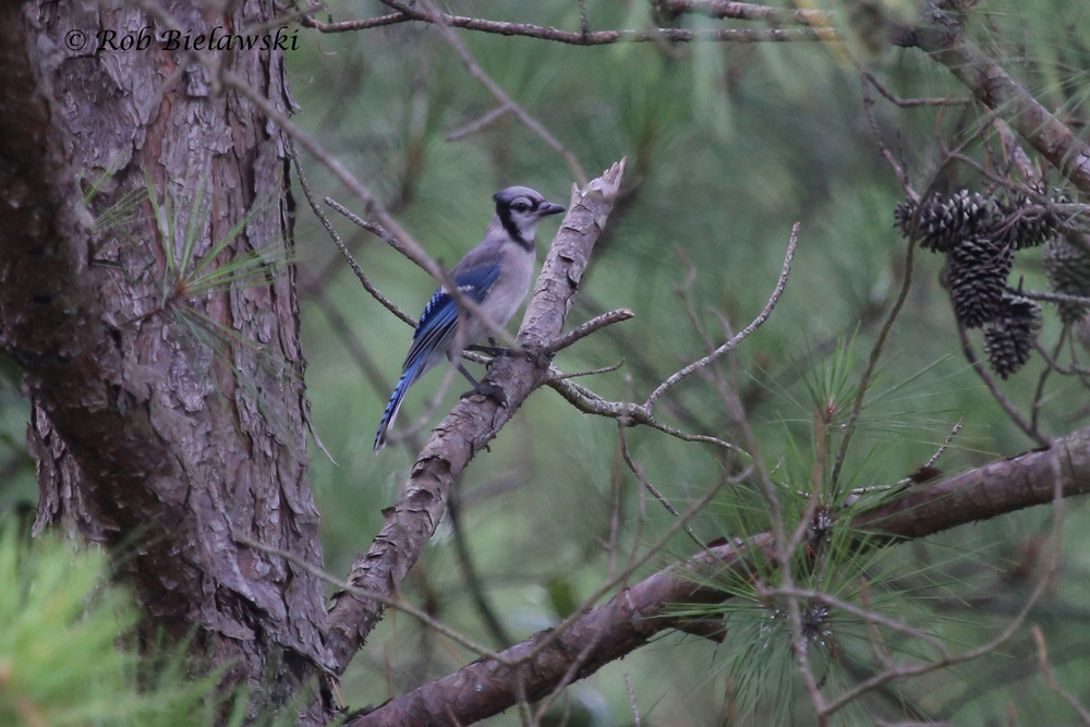 Blue Jay - Juvenile - 14 Jul 2015 - Pleasure House Point Natural Area, Virginia Beach, VA
