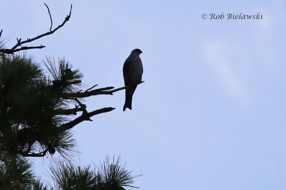 Mississippi Kite - Silhouette - 14 Jul 2015 - Thoroughgood, Virginia Beach, VA