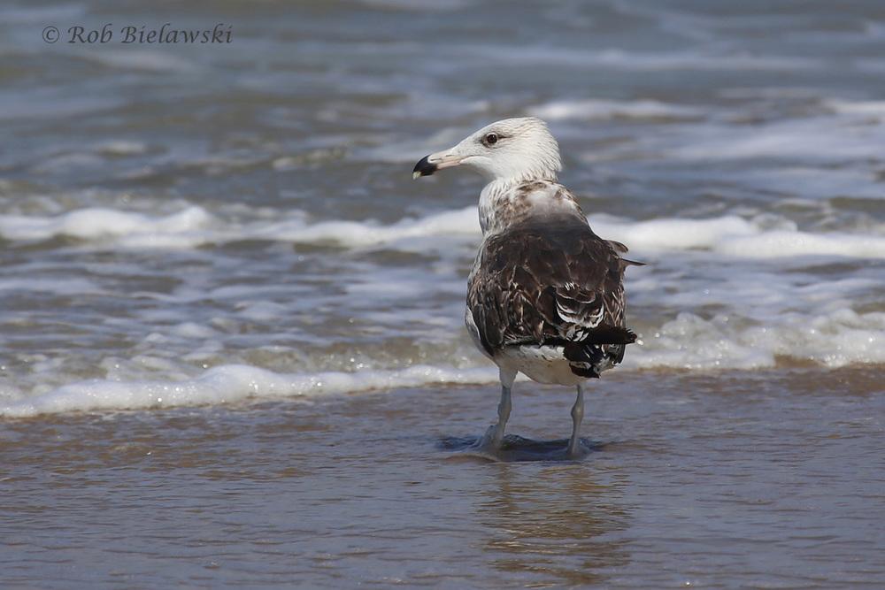 Great Black-backed Gull - 2nd Summer - 17 Jul 2015 - Back Bay National Wildlife Refuge, Virginia Beach, VA