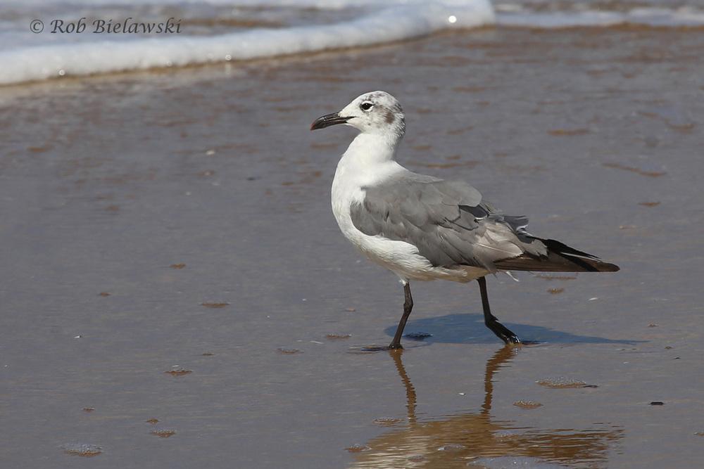 Laughing Gull - Nonbreeding Adult - 17 Jul 2015 - Back Bay National Wildlife Refuge, Virginia Beach, VA
