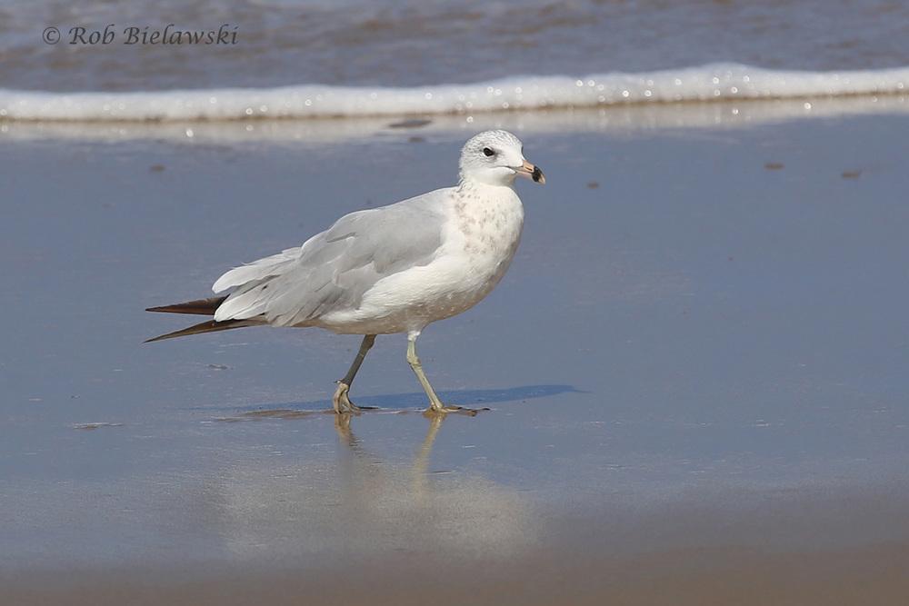 """Ring-billed Gull - 1st Alternate Plumage (""""1st Summer"""") - 17 Jul 2015 - Back Bay National Wildlife Refuge, Virginia Beach, VA"""