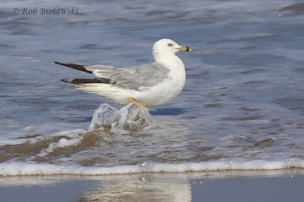 "Ring-billed Gull - Definitive Alternate Plumage (""Breeding Adult"") - 17 Jul 2015 - Back Bay National Wildlife Refuge, Virginia Beach, VA"