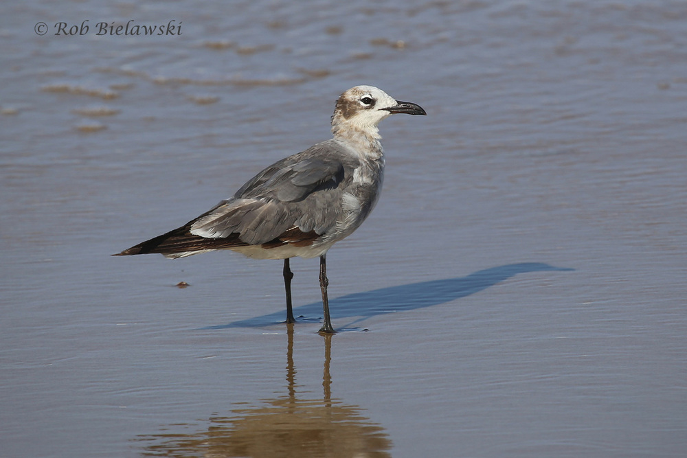 Laughing Gull - Immature, Transitioning from First Summer to Second Winter Plumage - 17 Jul 2015 - Back Bay National Wildlife Refuge, Virginia Beach, VA