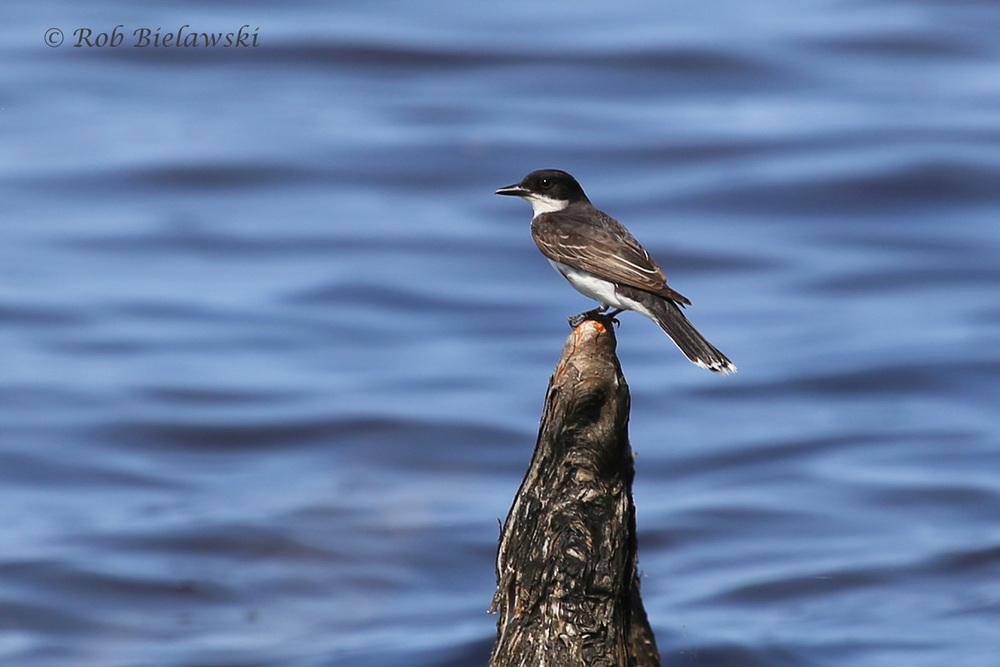 Eastern Kingbird - Adult - 18 Jul 2015 - Munden Point City Park, Virginia Beach, VA