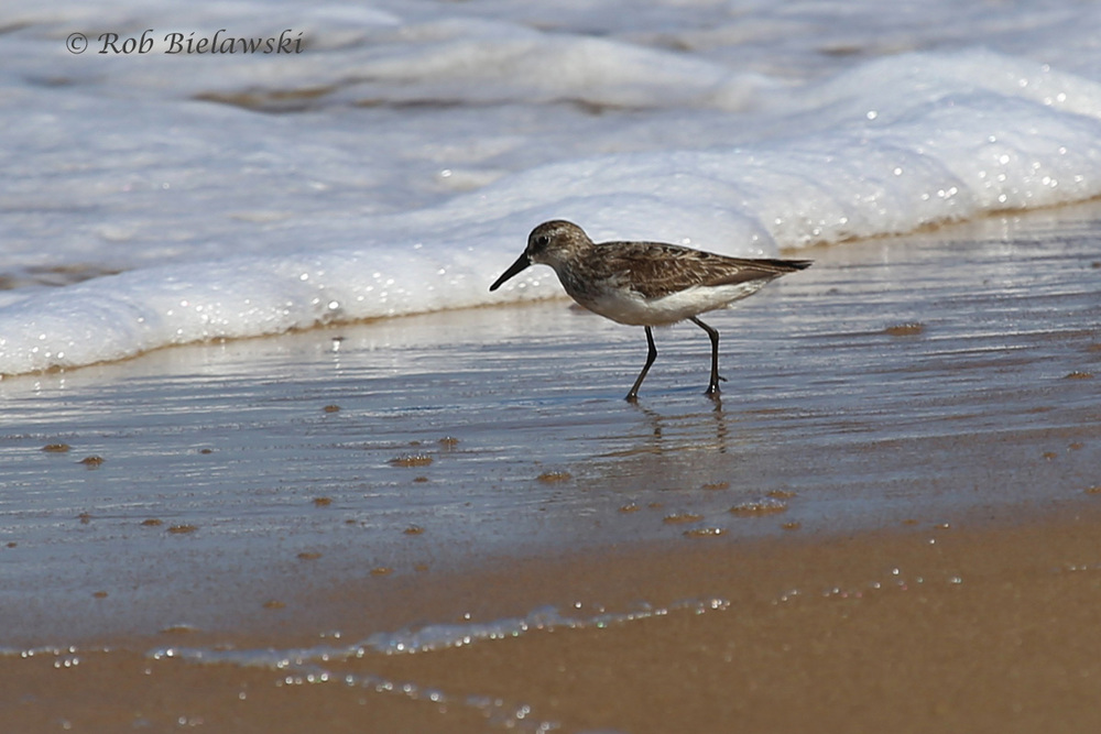Unidentifiable Peep (Likely Western Sandpiper)