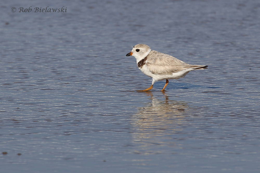 A little more detail on the very small & dainty Piping Plover seen at Back Bay NWR on Friday evening!