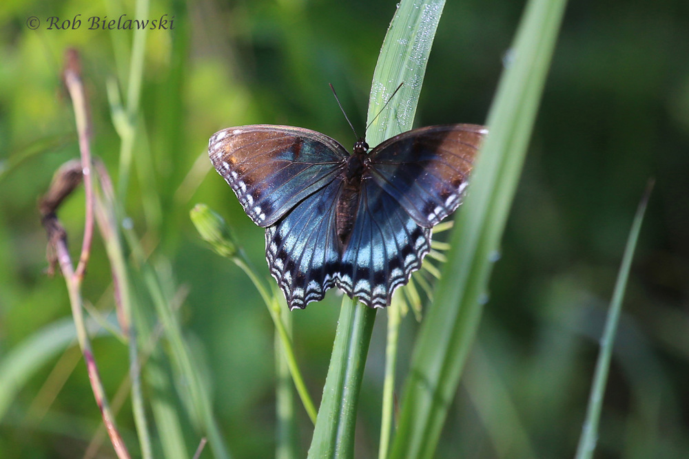 This Red-spotted Purple was sighted at Princess Anne WMA on Saturday morning!