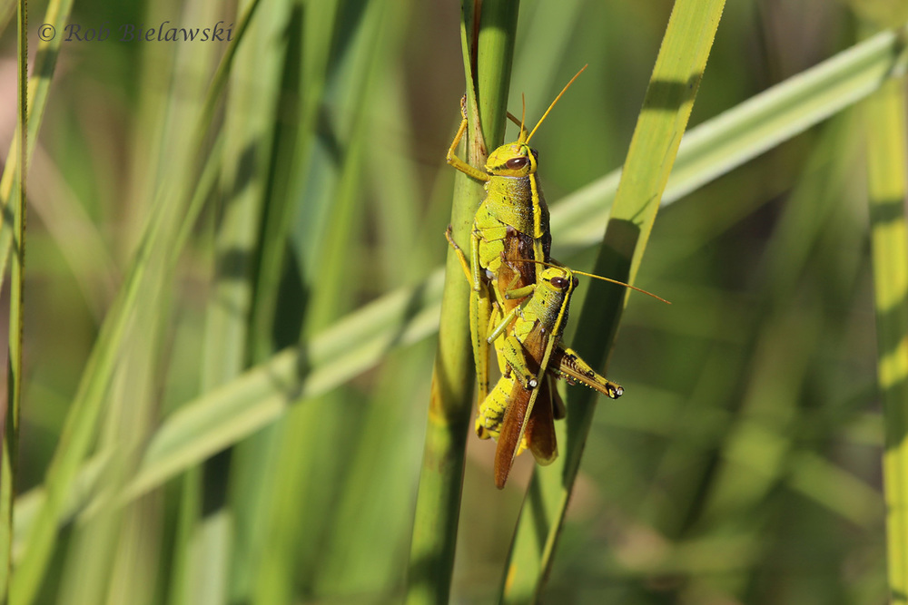 A male & female Two-striped Grasshopper mating at Milldam Creek in Virginia Beach. The size differential among the sexes is quite striking, similar to that in many fish species.