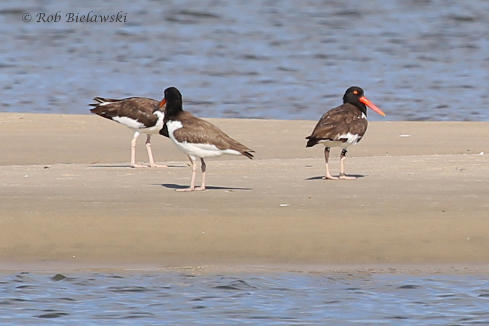 American Oystercatcher - Adult (R) & Juvenile (L) - 22 Jul 2015 - Pleasure House Point Natural Area, Virginia Beach, VA