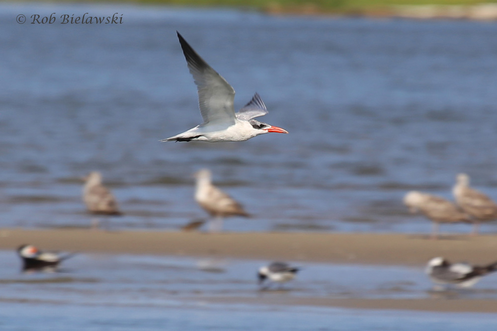 Caspian Tern - Breeding Adult in Flight - 22 Jul 2015 - Pleasure House Point Natural Area, Virginia Beach, VA