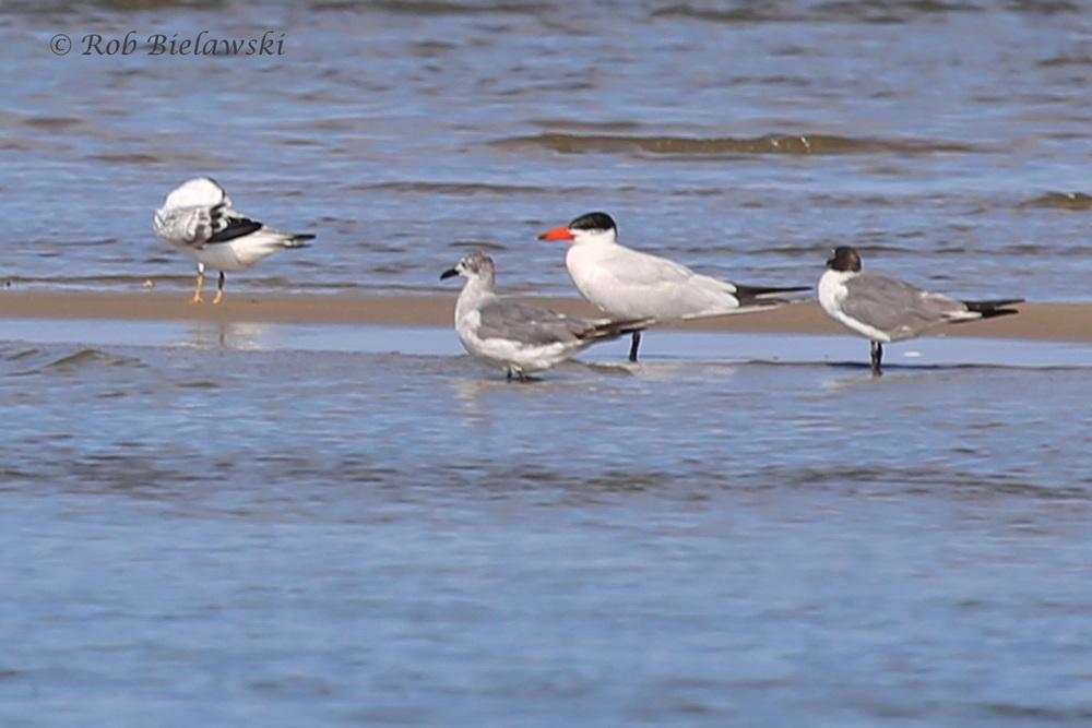 Laughing Gull (LM) & Caspian Tern (RM) - 22 Jul 2015 - Pleasure House Point Natural Area, Virginia Beach, VA