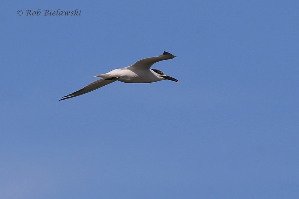 Sandwich Tern - Adult in Flight, Transitioning from Breeding to Nonbreeding Plumage - 22 Jul 2015 - Pleasure House Point Natural Area, Virginia Beach, VA