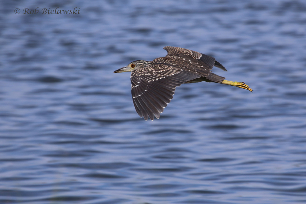 Yellow-crowned Night-Heron - Juvenile in Flight - 22 Jul 2015 - Pleasure House Point Natural Area, Virginia Beach, VA