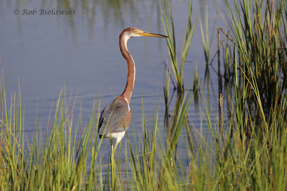 Tricolored Heron - Juvenile - 22 Jul 2015 - Pleasure House Point Natural Area, Virginia Beach, VA