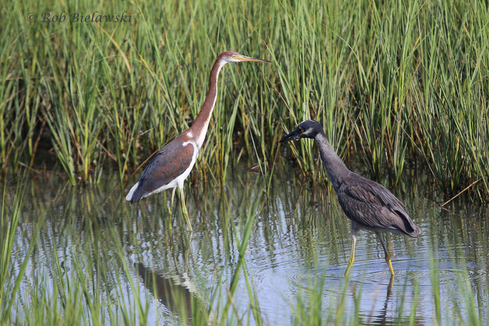 Tricolored Heron (Left) and Yellow-crowned Night-Heron (Right) - 22 Jul 2015 - Pleasure House Point Natural Area, Virginia Beach, VA