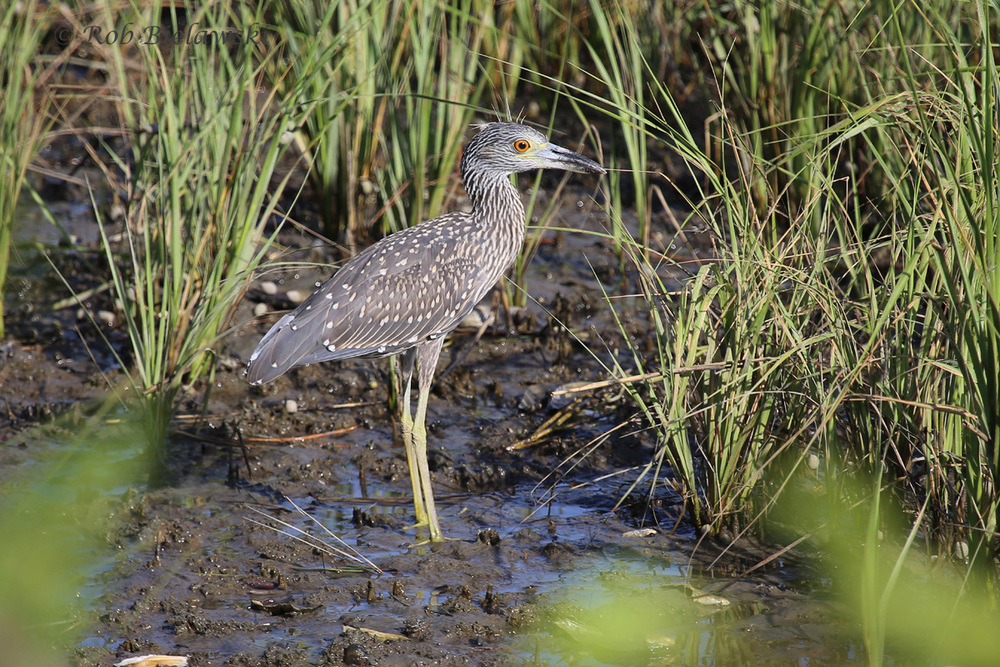 Yellow-crowned Night-Heron - Juvenile - 22 Jul 2015 - Pleasure House Point Natural Area, Virginia Beach, VA