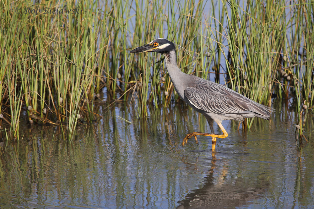 Yellow-crowned Night-Heron - Adult - 22 Jul 2015 - Pleasure House Point Natural Area, Virginia Beach, VA
