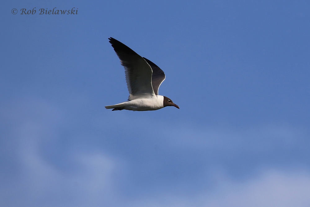 Laughing Gull - Breeding Adult in Flight - 22 Jul 2015 - Pleasure House Point Natural Area, Virginia Beach, VA