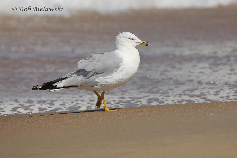 "Ring-billed Gull - Definitive Alternate Plumage (""Breeding Adult"") - 24 Jul 2015 - Back Bay National Wildlife Refuge, Virginia Beach, VA"