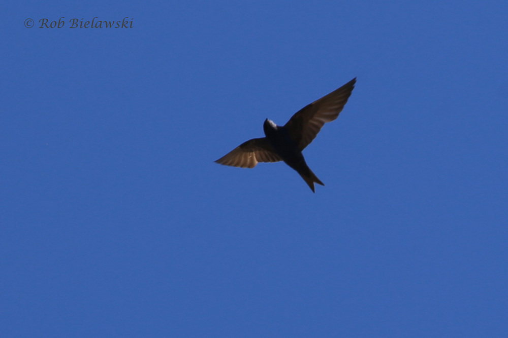 Purple Martin - Adult Male in Flight - 24 Jul 2015 - Back Bay National Wildlife Refuge, Virginia Beach, VA