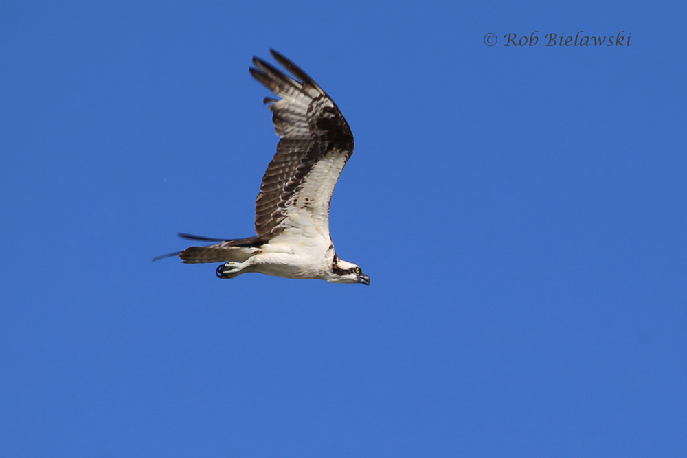 Osprey - Adult in Flight - 24 Jul 2015 - Back Bay National Wildlife Refuge, Virginia Beach, VA