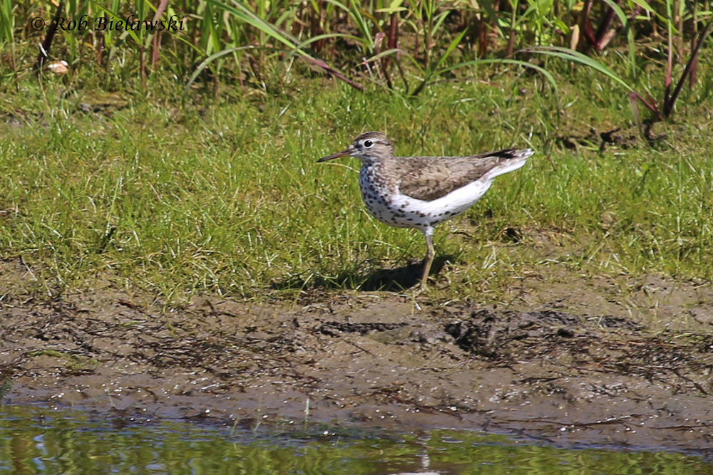 Spotted Sandpiper - Breeding Adult - 26 Jul 2015 - Princess Anne Wildlife Management Area (Whitehurst Tract), Virginia Beach, VA