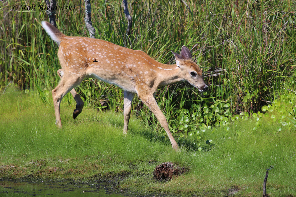 A very cooperative White-tailed Deer fawn seen at Back Bay NWR on Friday evening!
